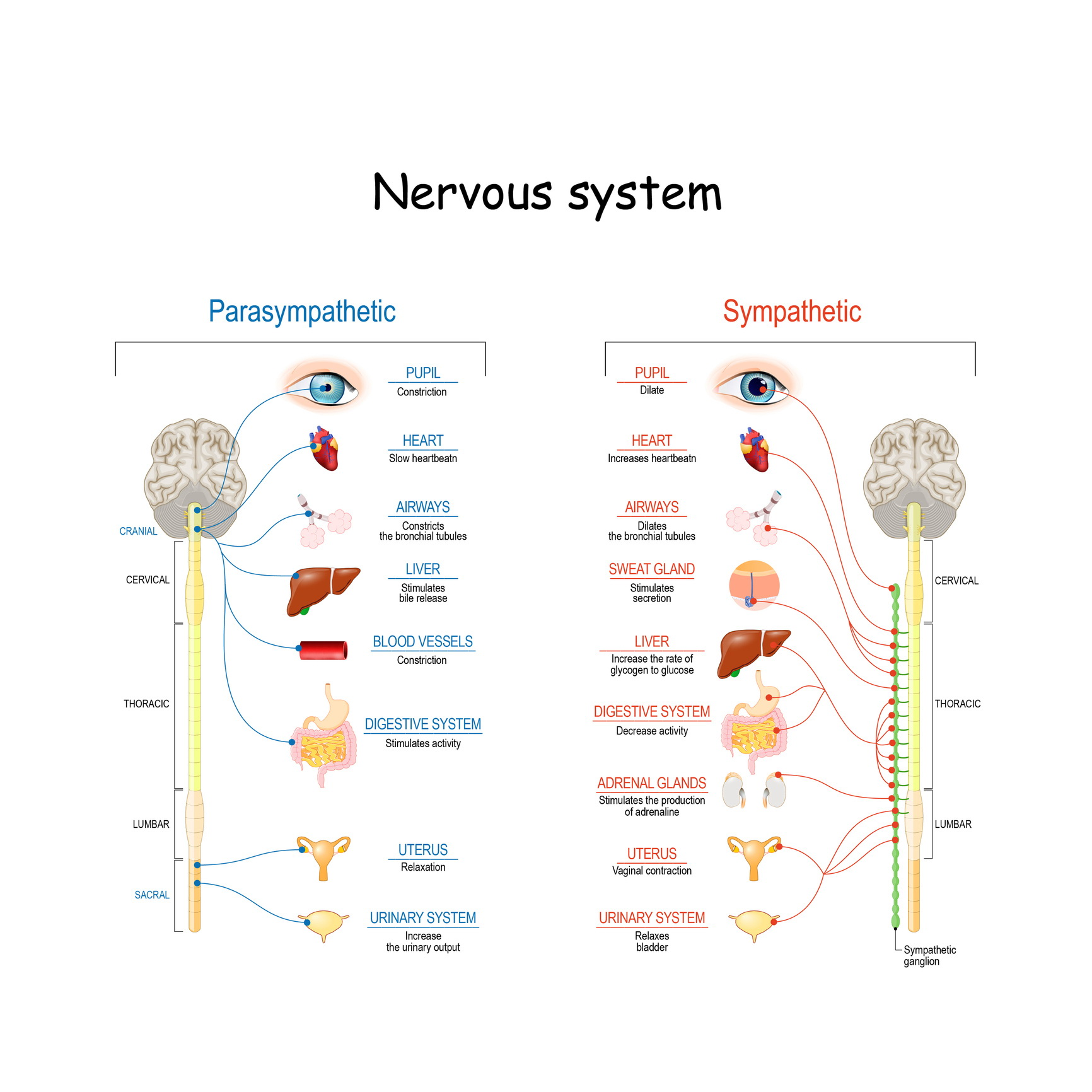 Schematic Diagram Of The Sympathetic Nervous System Manual Guide